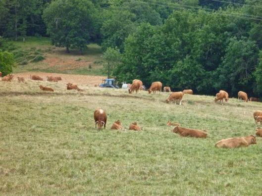 Cows enjoying their grass lunch.