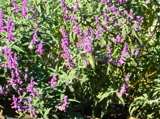 One of the many hummingbirds that delight in the abundance of salvia in my yard.