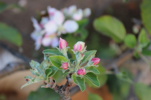 Delicate budding apple blossoms.