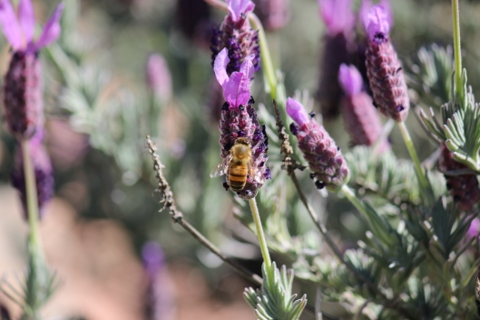 Dense and brilliant lavender loved by the bees.