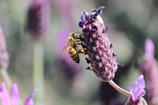 I hope this bee makes some great lavender honey somewhere!