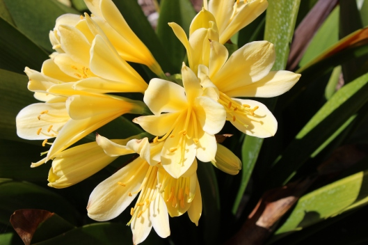 Blossoming Clivia grace my yard but for such a short time.