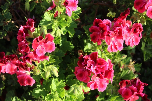 Magenta geraniums that are almost blinding.