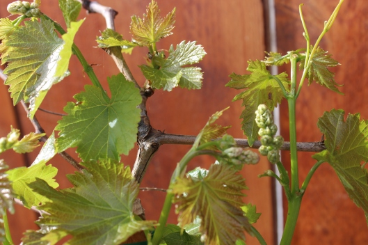 A newly planted Muscat grape vine shows off her healthy, shiny just opened leaves.