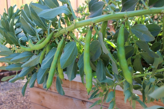 Robust favas grown from seeds I purchased in Tuscany. They are producing heavily right now. Anyone have an extra pair of hands to help shuck the pods?