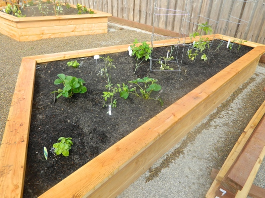 The newborn raised bed, two years ago, now on its third year of producing beautiful veggies.