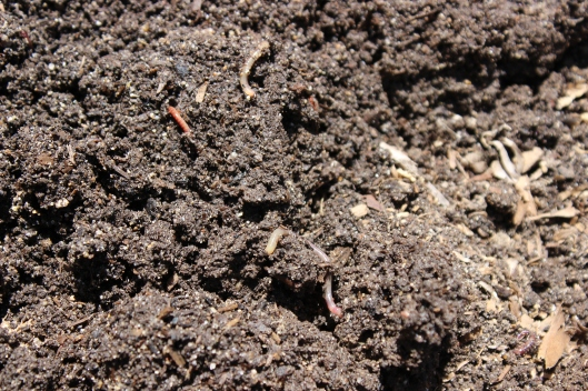 A farmer's best friend. These worms will keep my soil healthy for the tomatoes.