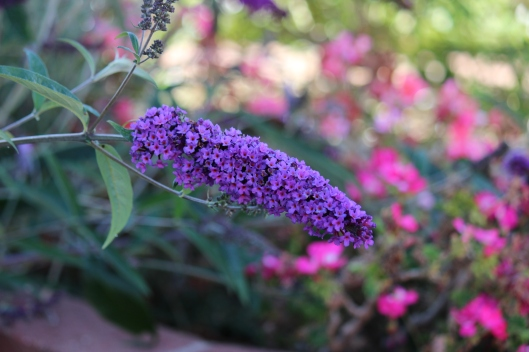 The Buddleia, or butterfly bush, is doing its job, attracting butterflies and hummingbirds galore. Since these guys are short season bloomers, I had to share their heartbeat.
