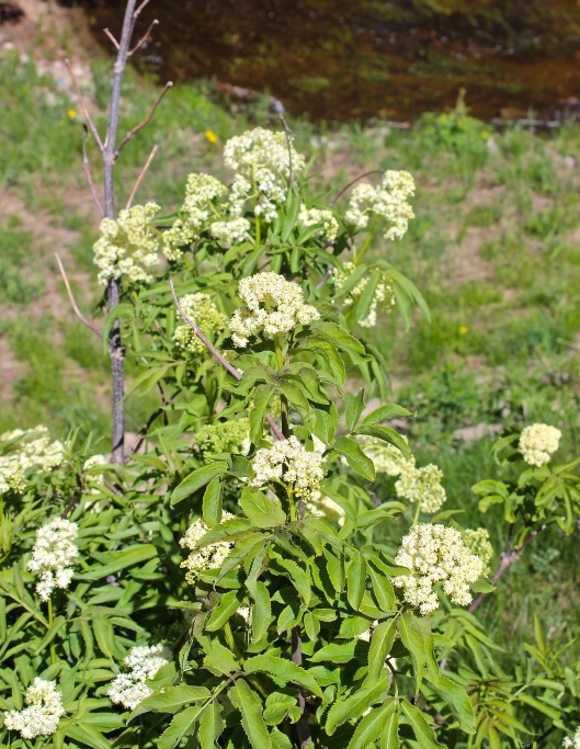 Elderflowers growing near a stream. The website stgermain.fr has lovely photos of their harvest in France.