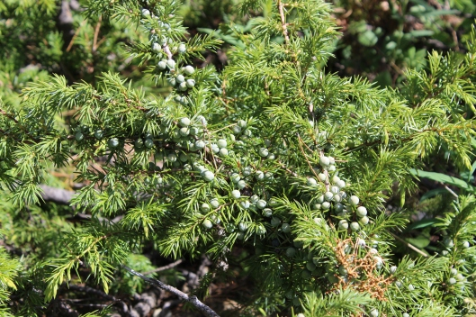 Not-quite-ripe juniper berries dot the mountain scape.