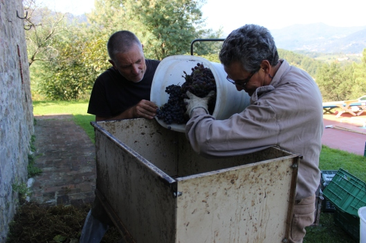 Into the crusher for the first stages of wine making.