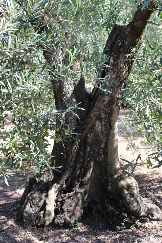 A very old olive tree living the good life at La Fenice.