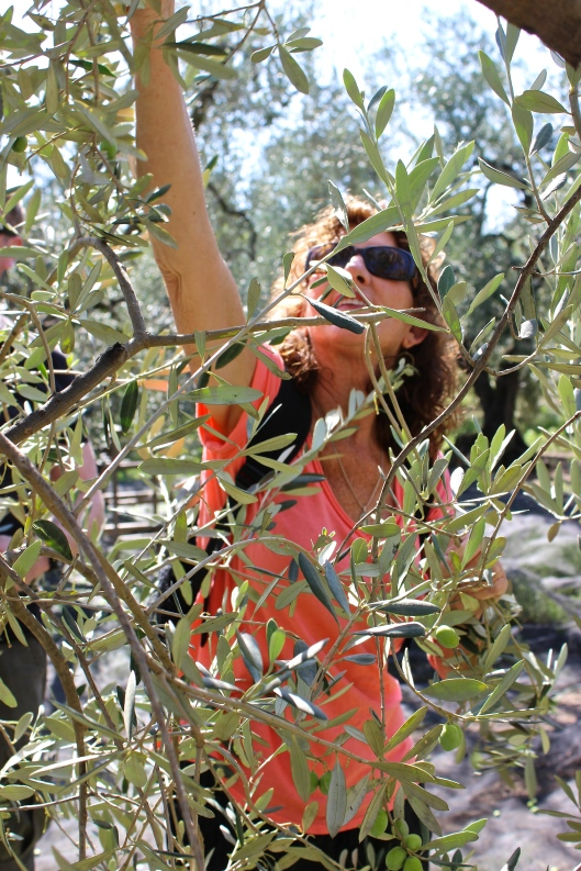 Picking Nolce, or the new olives.
