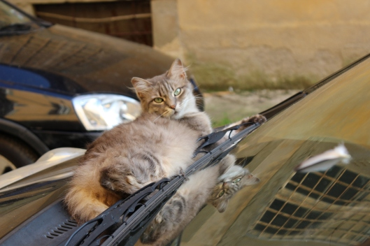 Alley cat lounging on a car hood. Check out her reflection. Bella.