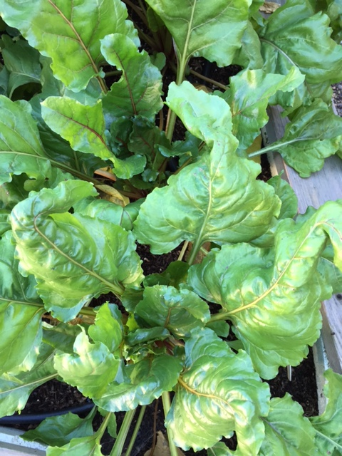 These are the healthiest and most beautiful beet greens I have ever grown. Just had to share.
