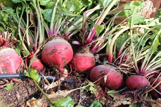 Heirloom beets with an attitude!