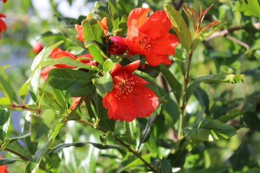 The delicate beauty of the rich orange pomegranate flower always amazes me.