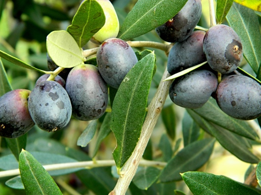 gorgeous olives